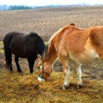 plougheld heste